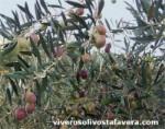 Variedad de Olivo Ocal