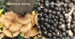 Asfixia radicular del olivo