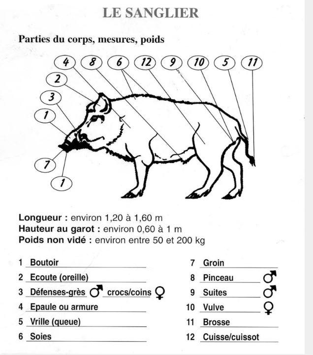 Morphologie du gibier Anatomie-sanglier-520eb05