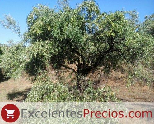 rama tronchada, olivo Manzanilla Cacereña, productividad muy elevada olivo