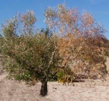 Olivo completamente seco por el Verticillium o seca del olivo