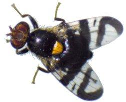 mosca de la cereza (Rhagoletis cerasi)
