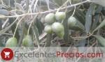 Aceituna de Verdeo: Verdial de Badajoz