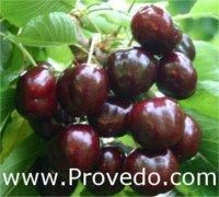Tipos de cereza: Black Star