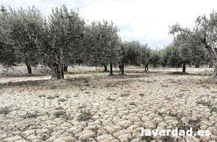 Clima olivos. Terreno arcilloso y seco