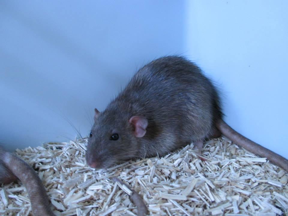 [Rongeurs en Destress] 5 rats males issus de saisie (6 mois) Red0492-46f4423