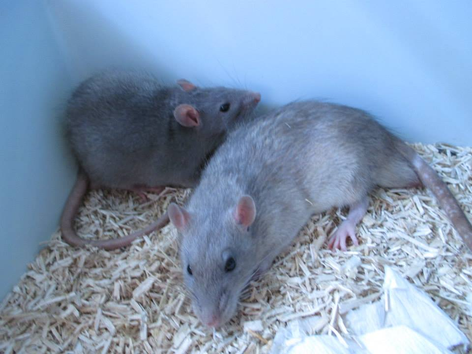 [Rongeurs en Destress] 5 rats males issus de saisie (6 mois) Red0493---red0494-46f4444