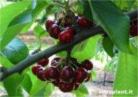 Tipos de cereza: Early Red