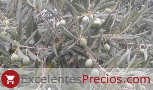 Olivo variedad Verdial de Badajoz, rama con aceitunas