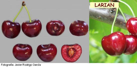 Cereza Larian, variedad Larian