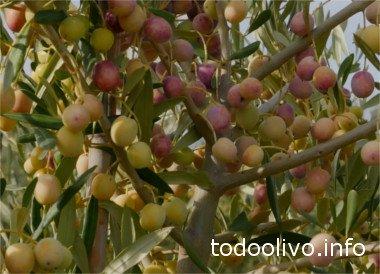 Cosecha de Olivo Arbosana
