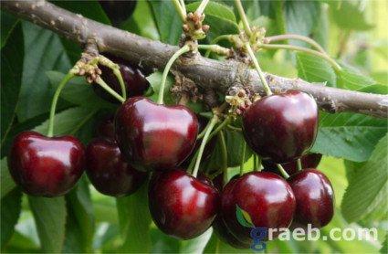 Cerezo Sylvia, variedad de cereza Sylvia, cereza de maduración tardia