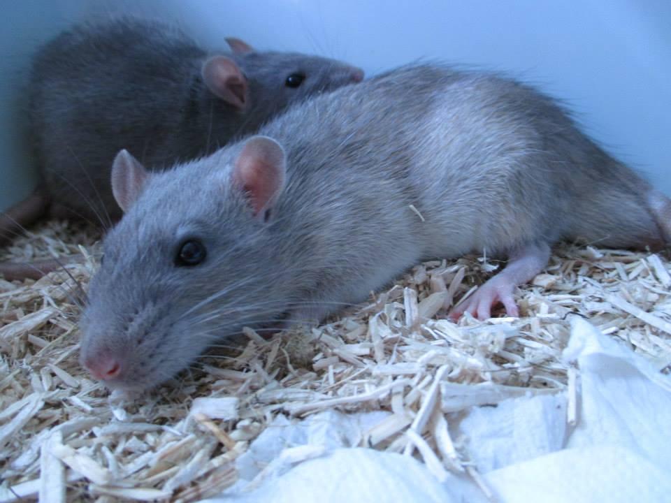 [Rongeurs en Destress] 5 rats males issus de saisie (6 mois) Red0493-46f442d