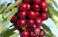 Tipos de cereza: Cereza Royal Tioga