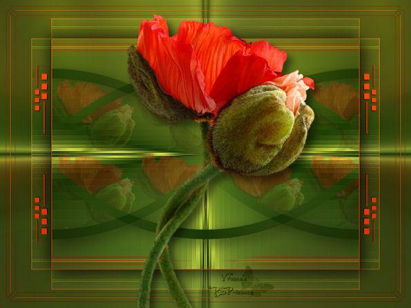Poppies 595-pix-470c804