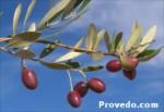 Picholine Marocaine es una aceituna de mesa de origen marroquí