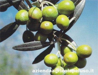 Variedad de olivo Roggianella