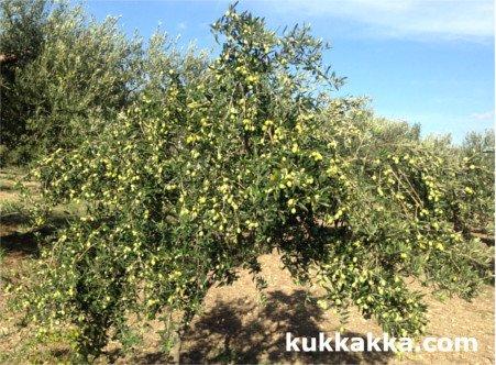variedad de olivo Nocellara del Belice
