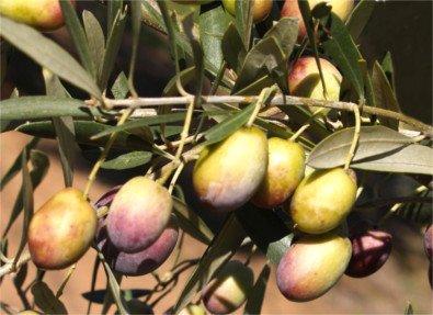 olivo Castellana o Verdeja