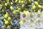 La aceituna de mesa Manzanilla Sevillana, es la variedad de aceituna de mesa más consumida en el mundo