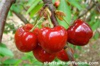 Tipos de cereza: Primulat