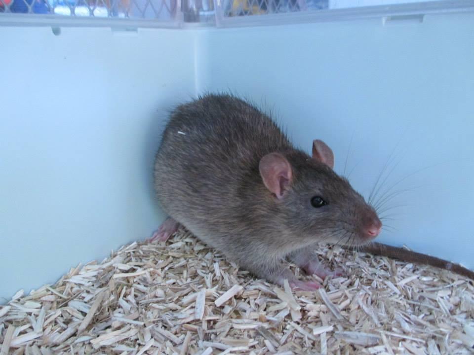 [Rongeurs en Destress] 5 rats males issus de saisie (6 mois) Red0495-46f4435
