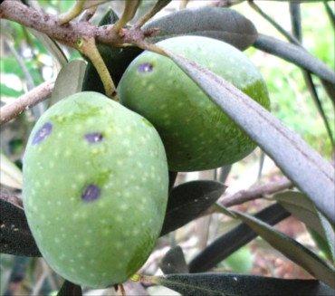 Aceitunas atacadas por la cochinilla violeta del olivo, Parlatoria oleae
