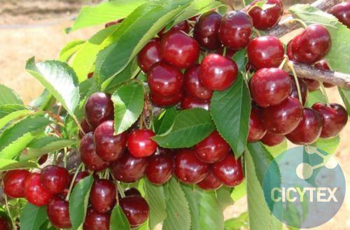 Cereza Grace Star, variedad de cerezo Grace Star, cereza de recolección o cosecha media
