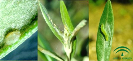 Larva de Glifodes