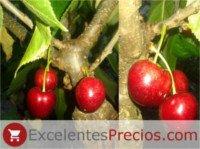 Tipos de cereza: Sandon Rose
