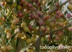 Variedad de olivo para superintensivo Arbosana