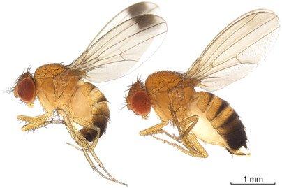 suzukii, mosca macho izquierda, mosca hembra a la derecha