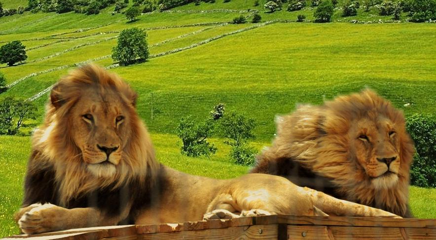 lion-cage-527d363.png