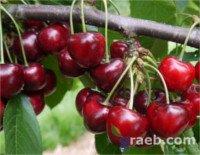 Tipos de cereza: Carmen