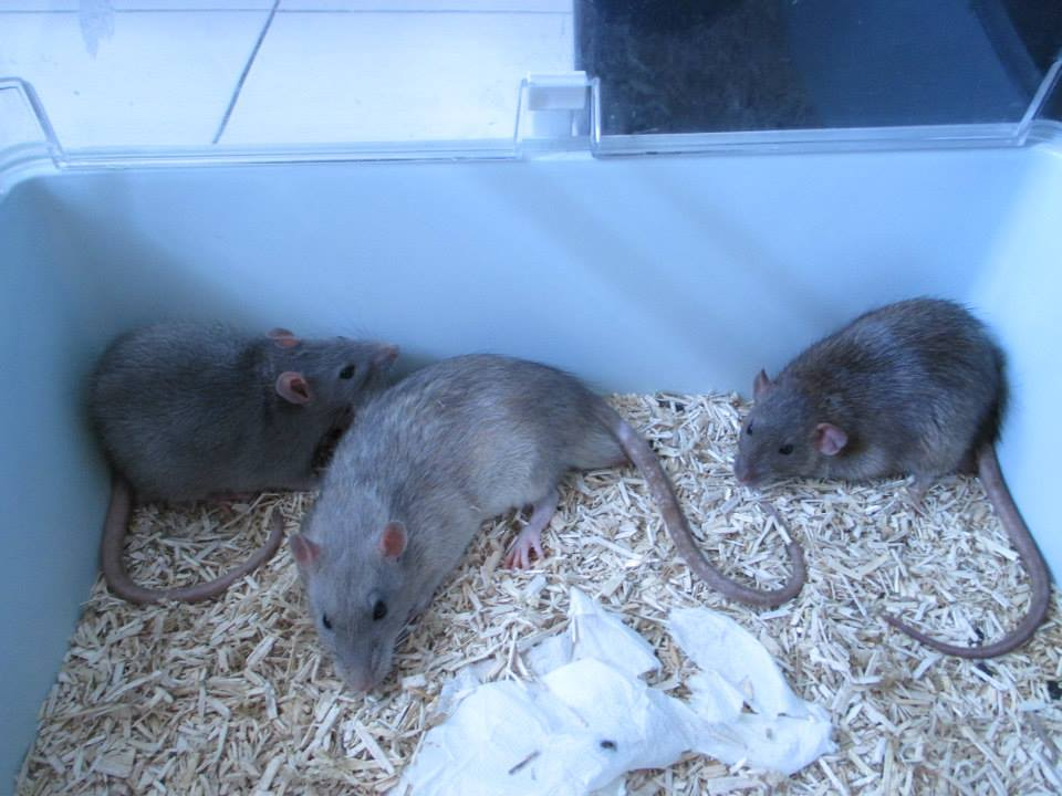 [Rongeurs en Destress] 5 rats males issus de saisie (6 mois) Red0492---red0493---red0494-46f443a