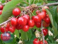 Tipos de cereza: Early Lory