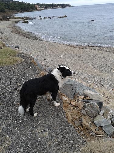 """border - """"Juste"""" un chien ? Et puis quoi encore ! [Gess, border collie] Gess-plage-53249b5"""