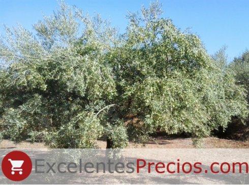 olivo Manzanilla Cacereña, recolección superior a 100kg de aceituna para molino