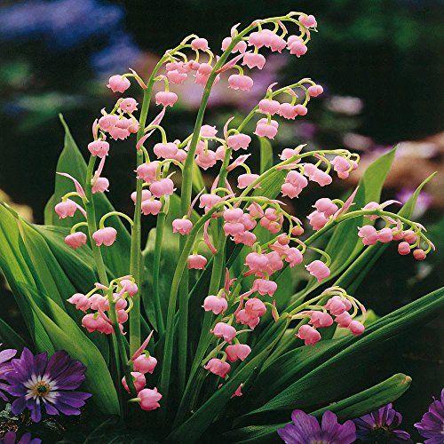 MAI : Rosée en avril et mai, rend août et septembre gai Muguet-rose-54654aa