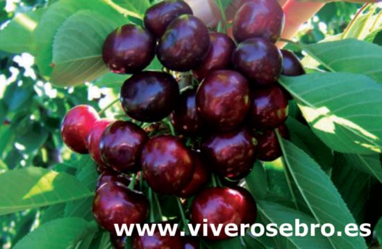 Cerezo Frisco, variedad de cereza Frisco, cereza de maduración temprana
