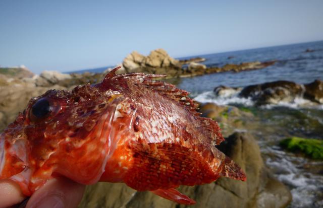 http://img110.xooimage.com/files/e/d/1/rascasse-rouge-rockfishing-54d101e.jpg