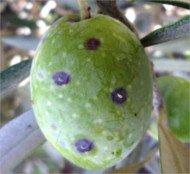 Cochinilla violeta o Parlatoria oleae sobre aceituna