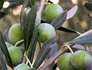 variedad de aceituna Pendolino