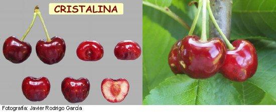 Cristalina, Cereza Picota, maduración media