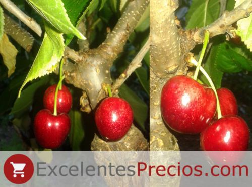 Sandon Rose cherry
