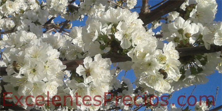 Cherry plantation: Cultivation and Production Tips