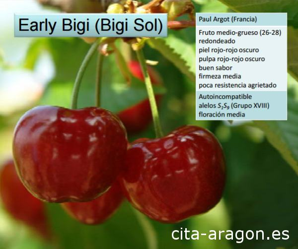 Early Bigi cherry