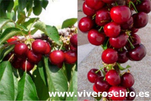 Cristobalina cherry