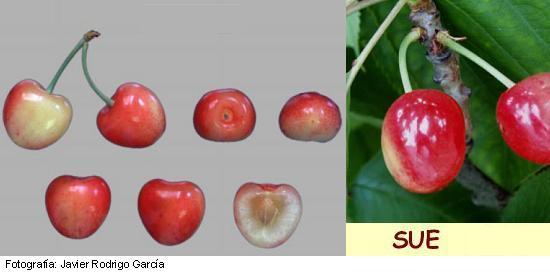 Sue cherry