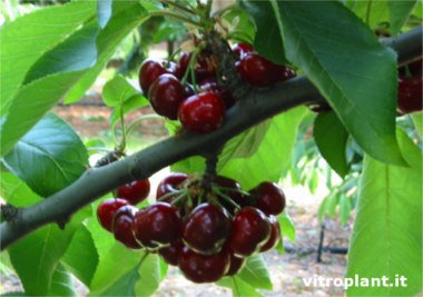 Early Red cherry